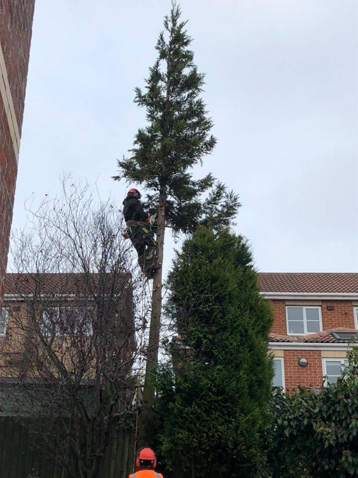Tree Removal Conifer Peterlee